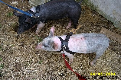 A black with pink pig and a gray and pink pig are standing next to a white stone wall wearing leashes and harnesses.