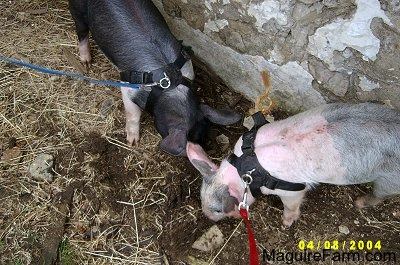A black with pink pig and a gray and pink pig are digging through mud next to the white stone wall of a barn.