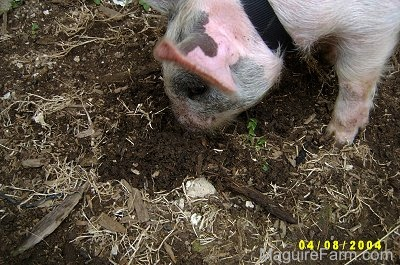 A gray and pink pig is digging through mud with its nose