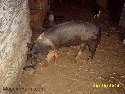 Inside of an old barn that was built in the 1800s, a black with pink pig is sniffing in front of a wall next to a small black bowl. There is a black with white cat in the background