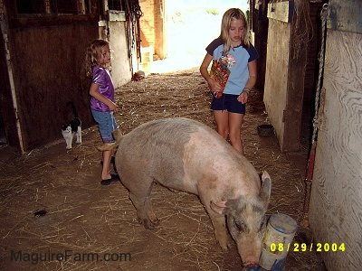 A blonde-haired girl in a blue shirt and a blonde-haired girl in a purple shirt are watching a gray and pink pig drink from a water dispenser