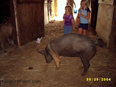 A blonde-haired girl in a blue shirt and a blonde-haired girl in a purple shirt are watching a black with pink pig sniffing through the dirt. A black with White cat is sitting against a barn door