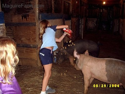 A blonde-haired girl in a blue shirt is dumping out crackers on to the floor of a barn for the gray and pink pig who is looking at the crackers fall. A black with pink pig is in the background digging towards the wall.