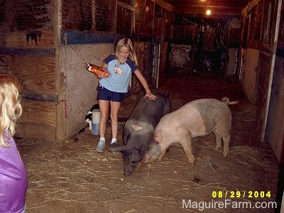 A gray and pink and A black with pink pig are eating the crackers. A blonde-haired girl in a blue shirt has her hand on the back of the black pig.