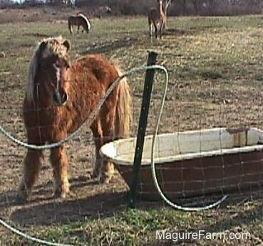 A brown pony with a blonde mane is near an old metal bath tub of water behind a fence. Its hair sort of looks like a mullet. There is another pony and a llama in the feild in the distance.