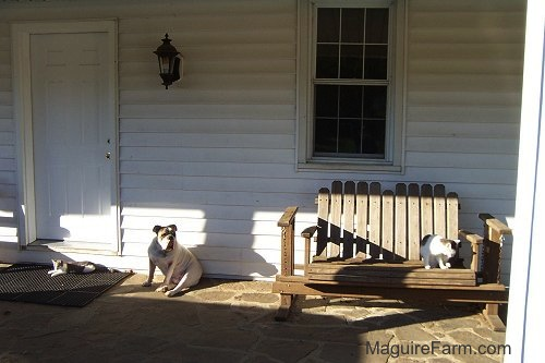 Spike the Bulldog on a stone porch of a white farm house with a cat on his left in front of the door and a cat on the right on a wooden glider bench.