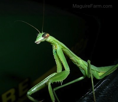 Close up - A green Praying Mantis