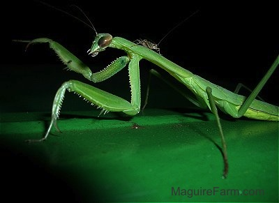 Close up - a Praying Mantis with Cricket on its back on top of a green John Deere Tractor