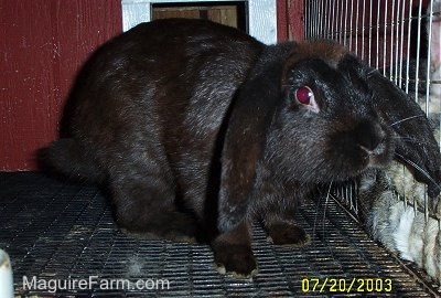A black rabbit with long drop ears inside of a red rabbit hutch