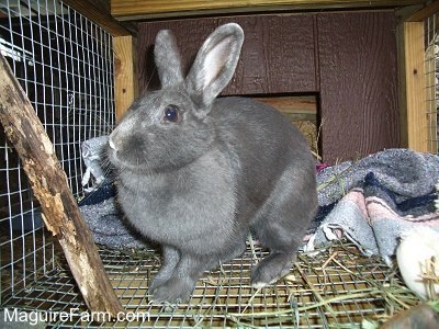 an all grey rabbit is in a hutch. There are blankets behind it