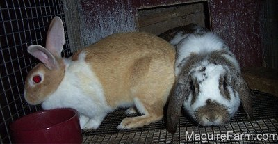 A tan with white perk eared rabbit is standing to the left of a white and grey drop eared rabbit