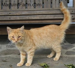An orange tiger cat with white stripes is standing in front of a wooden glider on a stone porch
