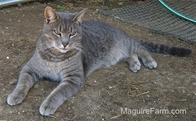 A gray tiger cat with intence eyes laying in dirt with a black mat and a green garden hose behind him.
