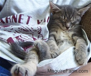 A gray tiger cat sleeping belly-up in the gray t-shirt on the lap of a person.