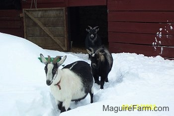 A white and black goat is leading two other black goats out of a barn and through a path in the deep snow