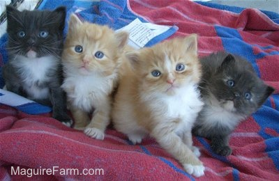 Four little kittens all lined up in a row on a blue and red towel. The two on the ends are black and white and the two in the middle are orange and white.