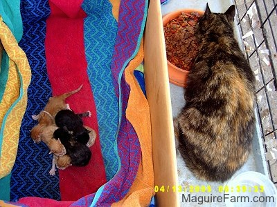 A litter of 5 kittens on a colorful towel in a cardboard box inside of a dog crate. Three are orange and two are black. The mother cat is inside the crate but outside of the box eatting cat food from an orange dish.