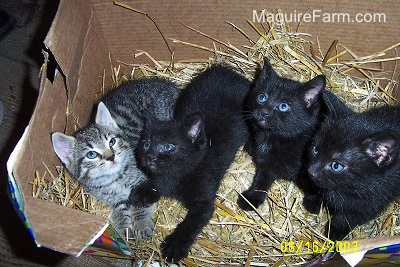 Four kittens on top of straw inside of a brown cardboard box. Three are black and one is a gray tiger.