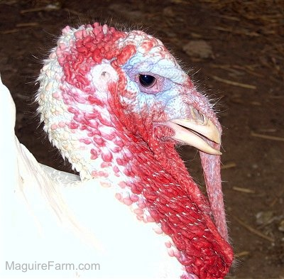 Close Up - The head of a male turkey with a lot of red on its face.