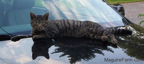 A gray tiger cat with intense eyes laying on top of a black car.