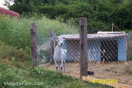 A white with a blue tinted goat is standing in an area that is fenced off. There is a wooden enclosure for the goat to sleep