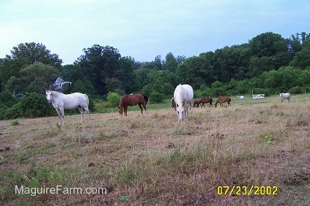 Horses are grazing in a field. One horse is looking towards the camera holder. There is a gate and fence in the background. Three of the horses are white and the rest are brown.