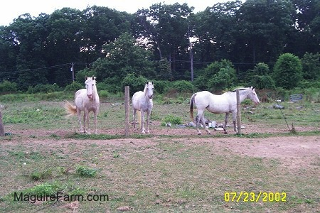 Three White Horses are stanfing in front of a wire fence