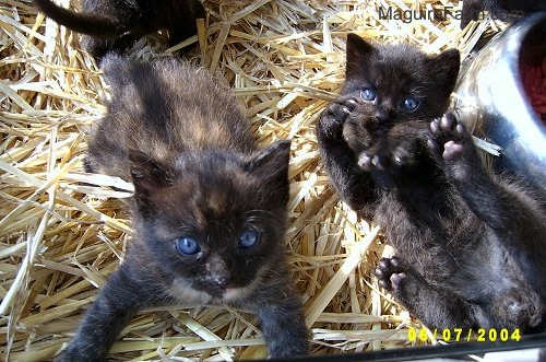 Two little kittens on top of hay. One is belly-up looking playful and the other is laying down with its front paws spread looking up.