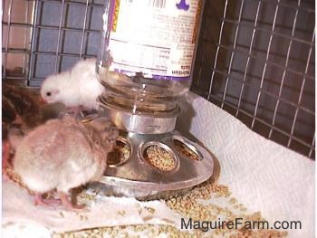 Three fuzzy keets are eating crumbled feed out of a food dispenser inside of a cage