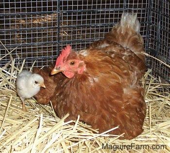 A red hen is laying in hay and a chick is walking around the hen