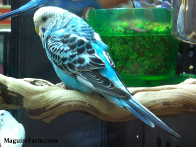 A blue with white and black parakeet is standing on a wooden perch with another blue with white and black parakeet standing on the side of a food bowl behind it