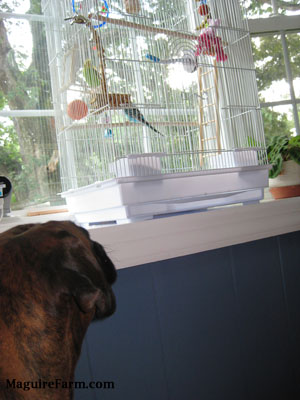 A brown brindle Boxer dog is looking up at a bird cage with a green and yellow with black parakeet inside of it.