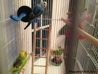 A green and yellow with black parakeet is perched on a wooden stick. A blue with white and black parakeet is hanging on to the side of the cage. There is a wooden ladder under it.