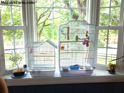 Two white bird cages are on a bay window sill. There is a dropcam and a bonsai plant on the left of the cages and another small plant on the right. A green and yellow parakeet is perched on a wooden stick inside of the larger cage.