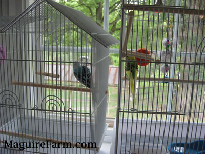 A blue with black and white parakeet is perched on a wooden stick close to the right side of its cage and in the cage next to it is a green and yellow paraket getting as close as it can.
