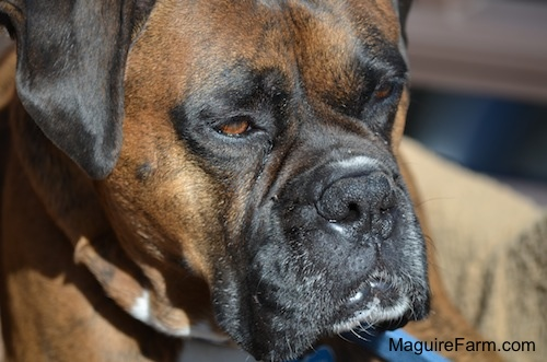 Close up Head shot - Bruno the brown brindle Boxer dog