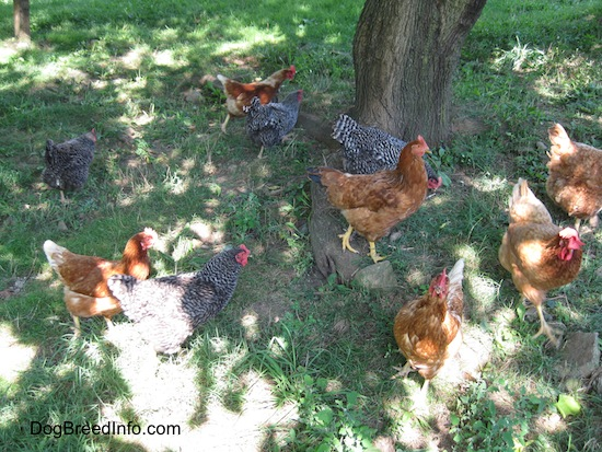 Barred Rock (Black) and New Hampshire Red chickens free ranging