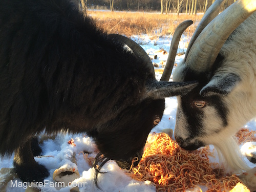 There is a black goat and a white with black goat eating a pile of spaghetti in snow