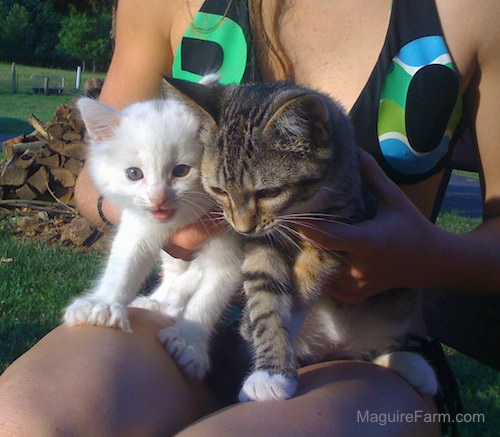 Two kittens being held by a girl in a black, green and blue shirt. One kitten is white and the other is a gray tiger.