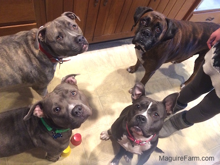 Three Dogs are standing and one dog is sitting next to a person. They all are looking up. There are three pit bulls and a boxer