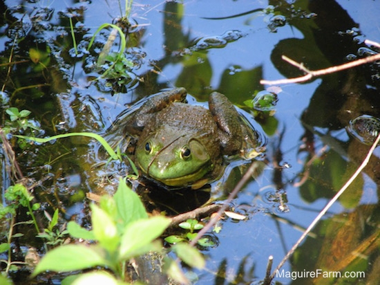 A bullfrog is waiting in a pond